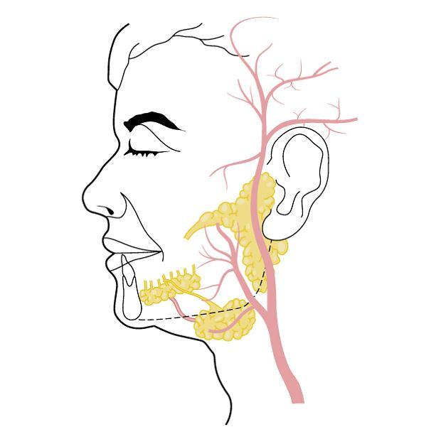 Ślinianki - rola, choroby ślinianek