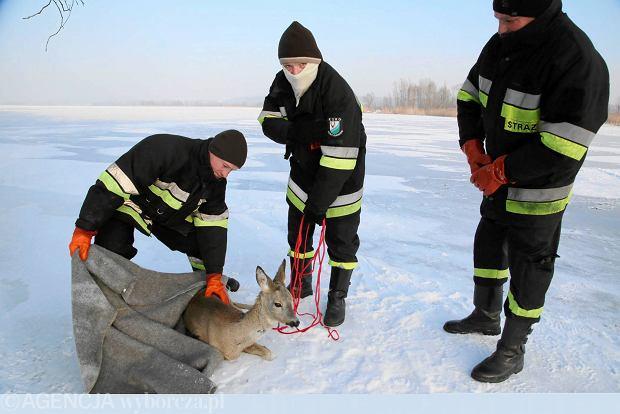 Niesamowita akcja: strażacy uratowali trzynogą sarnę na Wiśle [FOTO]