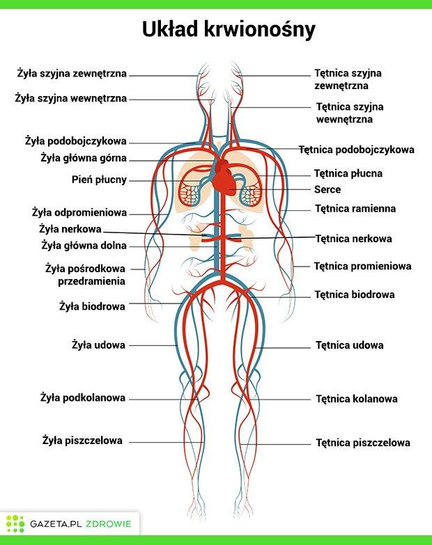 UKŁAD KRWIONOŚNY (KRĄŻENIA) - budowa, funkcje i najczęstsze choroby