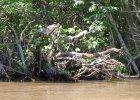 Zaskakuj�ce badania: krokodyle wspinaj� si� na drzewa