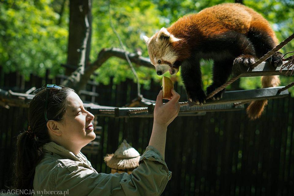 Dyrektor zoo Ewa Zgrabczyńska karmi pandki rude