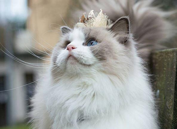 Pewnie Was zaskoczymy, stwierdzając, że ten śliczny pupilek ma ponad 87 tysięcy followersów na Instagramie i szafę pełną ubrań. Aurora, bo tak ma na imię, to prawdziwa królowa internetu. Właściciele uważają ją za światowej sławy królewską kotkę. Zobaczcie sami jak wygląda przeciętny dzień kociej diwy.