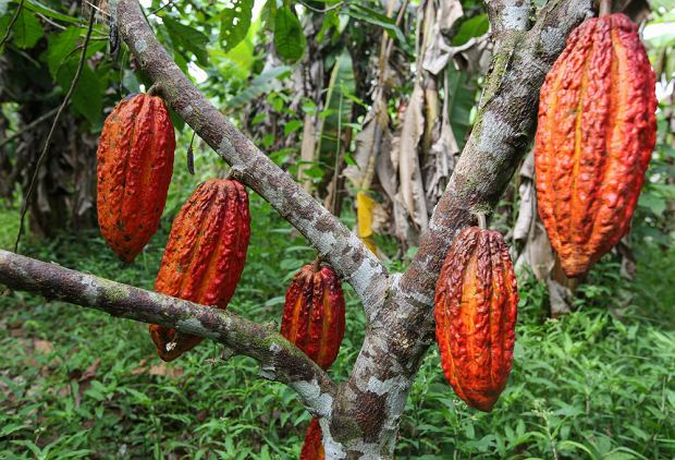 Kakaowce w Brazylii sadzi się pomiędzy wyższymi drzewami w lesie, by zapewnić im idealne warunki wzrostu.