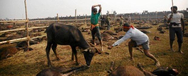 Krwawy rytua� w Nepalu: sk�adaj� w ofierze setki tysi�cy zwierz�t. A wystarczy�by rozbity kokos...
