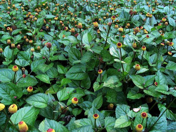Acmella oleracea - roślina na ból zęba