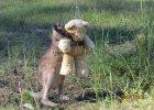 Tego kangurka odchowali ludzie. Dziś żyje na wolności, ale czasem wraca się przytulić do misia