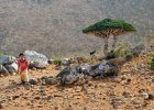 Sokotra - najbardziej kosmiczne miejsce na ziemi. Do czterech... tysięcy turystów rocznie [JEMEN, UNESCO]