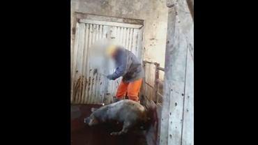 Brutalnie mordowali świnie. Bestialstw w ubojni w gminie Brawice