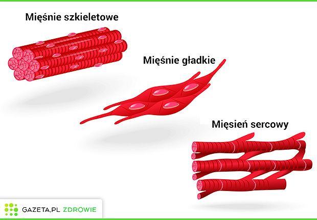 Ze względu na budowę oraz pełnione funkcje w organizmie wyróżniamy trzy typy mięśni: mięśnie szkieletowe, mięśnie gładkie oraz mięsień sercowy.