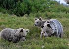 Skąd tyle niedźwiedzi w tatrzańskich miastach? Nie biorą się z kosmosu. Na takie zwierzę trzeba długo zapracować