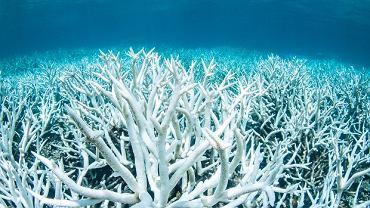 Bielenie koralowców to efekt zbyt wysokiej temperatury wody albo wzrostu poziomu zanieczyszczenia