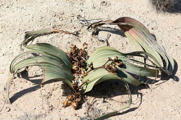 Welwiczja to żywa skamieniałość. Ta roślina w ciągu życia wykształca zaledwie dwa liście mogące osiągać ogromne rozmiary. Żyją wraz z całą rośliną nawet 2 tys. lat