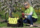 Jak się mają jabłka, które zjemy jesienią