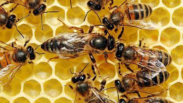 KRÓLOWA HODOWANA NA DIECIE. By z larwy wyhodować królową lub robotnicę, wystarczy tylko zmienić jej dietę. Królowa żywiona jest głównie mleczkiem pszczelim: składa się ono m.in. z wysokiej jakości białek. Zawiera całą gamę witamin z grupy B, składniki mineralne, enzymy oraz 18 różnych aminokwasów. To również naturalne źródło acetylocholiny. Taka dieta zmienia aktywność genów pszczoły królowej, która jest większa, płodna i żyje nawet trzy lata, robotnica - zaledwie kilka tygodni.