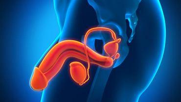 PSA wytwarzany jest przez komórki nabłonkowe cewki i przewodu wyprowadzające gruczoł stercza