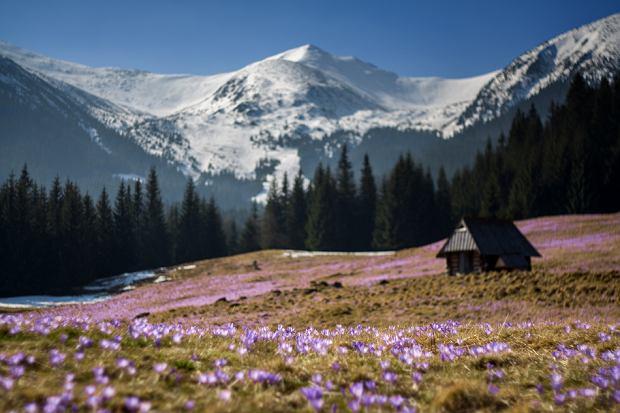 Krokusy w Tatrach zwiastują przyjście prawdziwej wiosny. Zobacz bajeczne zdjęcia z polskich gór [ZDJĘCIA]