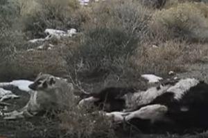Ten borsuk wprawił naukowców w osłupienie - kamery nagrały, jak sam zakopał całą krowę. Miał powód