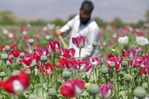 Ameryka wyda�a miliardy na walk� z afga�skim opium. Wszystko na nic