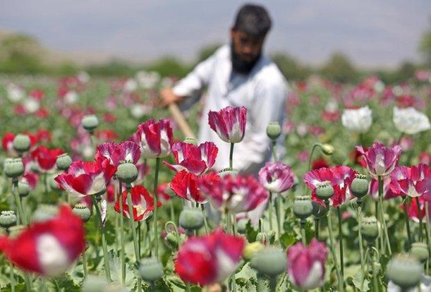 Afganistan makiem stoi. Z uprawy �yje 250 tys. rodzin rolnik�w