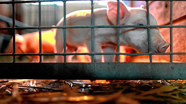 Świnia. Zdjęcie ilustracyjne