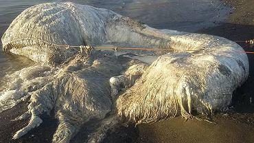Morze wyrzuciło na brzeg potwora - co to takiego?