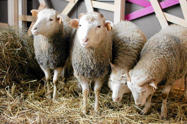 Bankier strzy�e owce. Rzeczniczka sprzedaje koszulki. Amerykanie cha�turz�, �eby mie� na wygodne �ycie