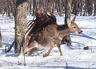 Orzeł przedni na grzbiecie jelenia!