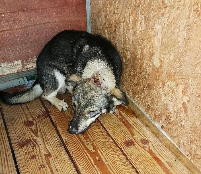 Postrzelony pies