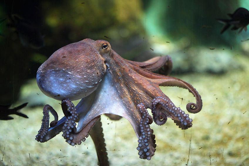 Ośmiornica zwyczajna (Octopus vulgaris)