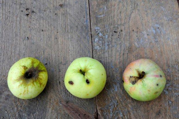 jabłka dawnych odmian