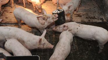 W Polsce produkowane są konserwy z mięsa świń ze stref ASF / Zdjęcie ilustracyjne