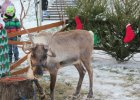 Renifery są nową atrkacją podczas świątecznych imprez