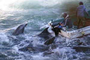 Rybacy zabili 30 delfin�w w porcie Taiji