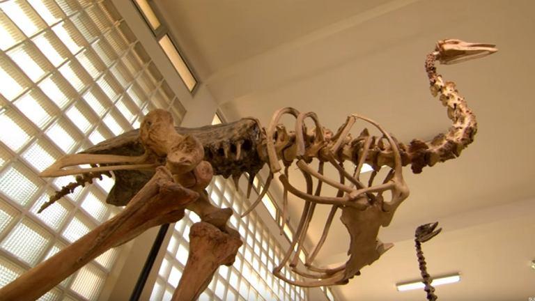 Mamutaki, czyli ptaki-słonie