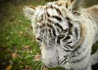 Zoo Safari w Borysewie. Urodzi�y si� bia�e tygrysy [ZDJ�CIA]