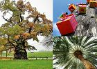 Najpiękniejsze drzewa w Polsce - wiele dębów i....palma. Które zostanie Drzewem Roku?