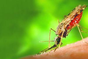 Śmiertelnie niebezpieczne ukłucie komara widliszka