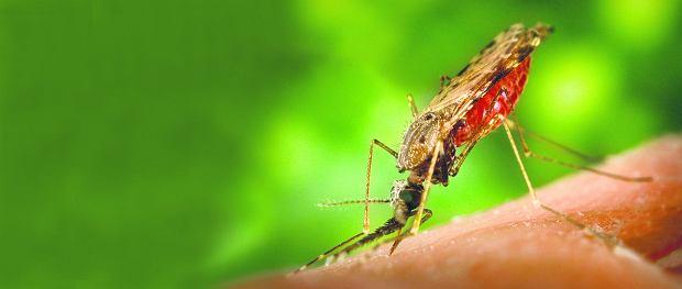 �miertelnie niebezpieczne uk�ucie komara widliszka