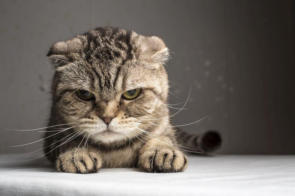 Wiele zaburzeń zachowania kotów jest ignorowanych przez właścicieli, ponieważ nie są uciążliwe (fot. Koldunova / iStockphoto.com)