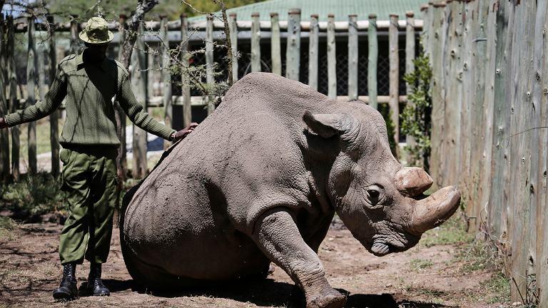 Nosorożec biały północny o imieniu Sudan