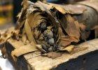 Cia�o tego 14-letniego ch�opca ma 2500 lat. Trumna z mumi� Minirdisa zosta�a otwarta w Chicago