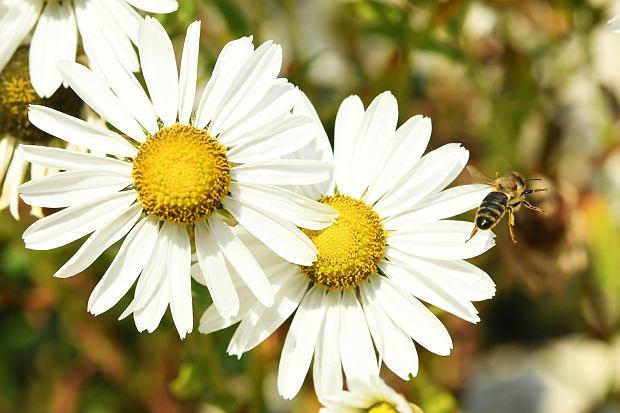 Neonikotynoidy szkodzą pszczołom - konkluduje w kolejnym raporcie EFSA