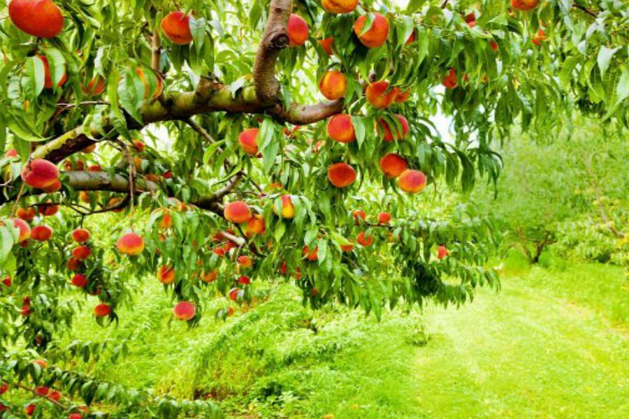 Piękne owoce w Twoim ogrodzie - jak dbać o drzewka owocowe?