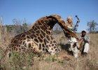 Zabiła żyrafę i zrobiła sobie z nią zdjęcie. Internauci grożą jej śmiercią