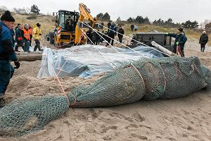 Wieloryb z Unie�cia pojecha� na Hel. Jak go podnie�li? [ZDJ�CIA]