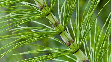Skrzyp polny jest w Polsce najbardziej pospolitym gatunkiem skrzypu. Rośnie głównie na polach uprawnych, odłogach i przydrożach.