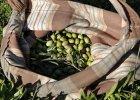 Kapka z�ych wie�ci dla koneser�w w�oskiej oliwy