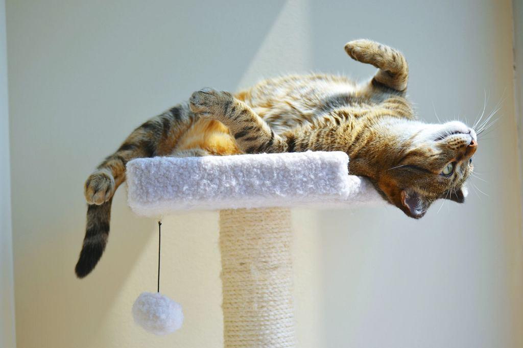 Kot musi mieć zaspokojony instynkt łowiecki, czyli właściciel powinien bawić się z nim, najlepiej o określonych porach (Satrinsky Magic / iStockphoto.com)