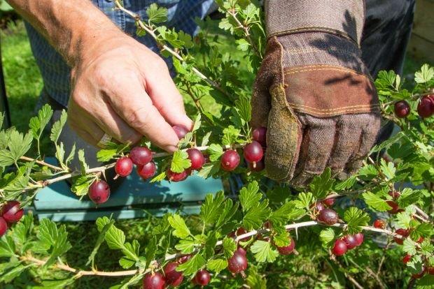 AGREST w lipcu najlepszy. Dlaczego znakomite owoce trafi�y do lamusa?