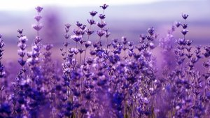 Lawenda hidcote blue